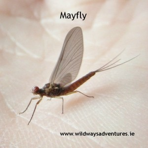 Mayfly in the kitchen