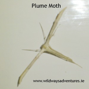 Plume Moth Wildways Adventures