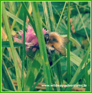 Common Carder Bee on Clover