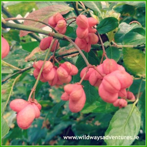 Spindle Berries on the Barrow Path