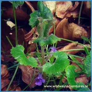 Ground Ivy Mullaghreelan